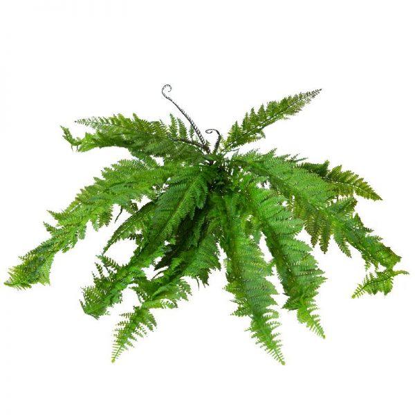 Зелена клонка - иглолистно растение